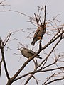 Spodiopsar cineraceus pair at a branch in Nishibuchi, Saga 2018-01-20.jpg