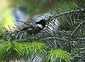 Spot-winged Tit I IMG 6879.jpg