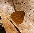 Spotless Grass Yellow. Eurema laeta. Pieridae - Flickr - gailhampshire.jpg
