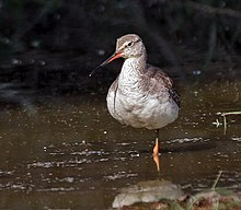 Spotted Redshank (Tringa erythropus)- Resting on one leg at Bharatpur I IMG 5751.jpg