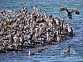 Spotted Shags (7111765377).jpg