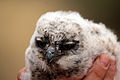 Spotted eagle owl (Bubo africanus) chick.jpg