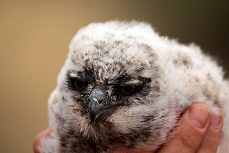 Spotted eagle-owl - Image: Spotted eagle owl (Bubo africanus) chick
