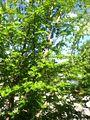 Spring foliage in Wilmington, Ohio 2013-06-18 06-33.jpg