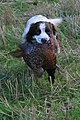 Springer retrieves a cock pheasant - geograph.org.uk - 1560231.jpg