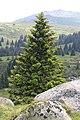 Spruce at Torfeno branitshte.jpg
