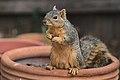 Squirrel eating seeds.jpg