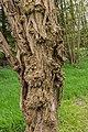 Stam van een dode Robinia, (valse Acacia) 01.jpg