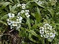 Starr-010520-0068-Lobularia maritima-flowers-Inland-Kure Atoll (24424460292).jpg