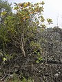 Starr-031111-0168-Bocconia frutescens-habit-Auwahi-Maui (24582122331).jpg