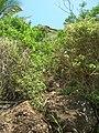 Starr-050419-0412-Schinus terebinthifolius-habit-Mokolii-Oahu (24746078185).jpg