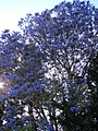 Starr-070525-7165-Jacaranda mimosifolia-flowering habit-Kula-Maui (24771481312).jpg