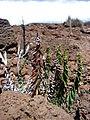 Starr-090504-7269-Pellaea ternifolia-habit-Science City-Maui (24658732950).jpg