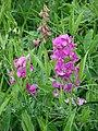 Starr-090514-7857-Lathyrus latifolius-flowers and leaves-Kula-Maui (24837349222).jpg