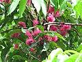 Starr-090618-1134-Syzygium malaccense-flowers and leaves-Honomanu Hana Hwy-Maui (24670245950).jpg