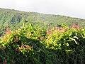 Starr-090623-1778-Antigonon leptopus-flowering habit-Kaupo-Maui (24340494353).jpg