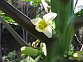 Starr-091108-9374-Carica papaya-flower-Olinda-Maui (24621494839).jpg