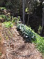 Starr-091108-9377-Brassica oleracea var botrytis-broccoli in vegetable garden-Olinda-Maui (24962806386).jpg
