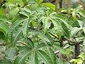 Starr-110307-2327-Pachira aquatica-leaves-Kula Botanical Garden-Maui (24983519571).jpg
