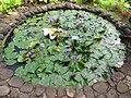 Starr-110330-3676-Nymphaea sp-habit water garden-Garden of Eden Keanae-Maui (25080612295).jpg