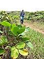 Starr-110827-8580-Polyscias oahuensis-habit with Kim-Waihee Ridge Trail-Maui (24473407694).jpg