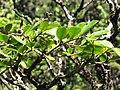 Starr-110929-0257-Polyscias oahuensis-leaves-Hanaula-Maui (24820617450).jpg