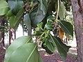 Starr-120510-5668-Lophostemon confertus-leaves and capsules-Ka Hale Olinda-Maui (25024136242).jpg