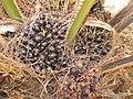 Starr-120702-7949-Elaeis guineensis-fruit-USDA Plant Materials Center-Molokai (25093089071).jpg