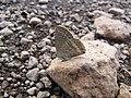 Starr-121031-0566-Ulex europaeus-habitat with bean butterfly Lampides boeticus mudding-Waikamoi Flume Rd-Maui (24564644544).jpg