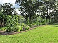 Starr-170603-8988-Solanum lycopersicum-fruiting habit in veggie garden-Hawea Pl Olinda-Maui (35074639412).jpg