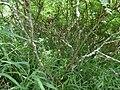 Starr-180421-0073-Leucaena leucocephala-with Argiope spider-Honolua Lipoa Point-Maui (28572110617).jpg