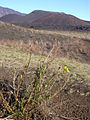 Starr 031001-2065 Oenothera stricta subsp. stricta.jpg