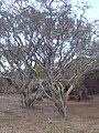 Starr 031015-0086 Prosopis pallida.jpg