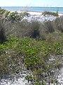 Starr 031108-0201 Ipomoea pes-caprae subsp. brasiliensis.jpg