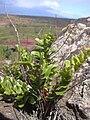 Starr 040330-0411 Nephrolepis multiflora.jpg