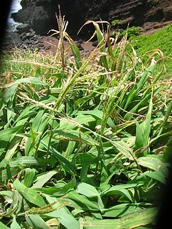 Starr 050406-6099 Digitaria insularis.jpg
