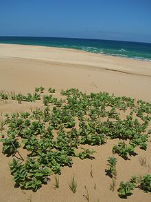 vitex rotundifolia wikipedia