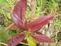 Starr 060429-8023 Nestegis sandwicensis.jpg