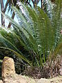 Starr 070306-5228 Cycas circinalis.jpg