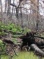 Starr 070908-9194 Rubus hawaiensis.jpg