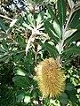 Starr 071024-0270 Banksia integrifolia.jpg