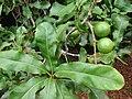 Starr 080715-9231 Macadamia integrifolia.jpg