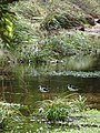 Starr 090205-2342 Cyperus javanicus.jpg