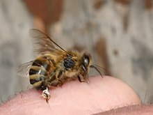 Stechende Biene 12a.jpg