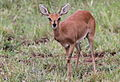 Steenbok, Raphicerus campestris - female - at Kruger Park (13899766025).jpg