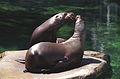 Steller Sea Lions(Vancouver)03(js).jpg