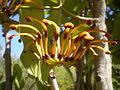 Stenocarpus sinuatus 4c.JPG