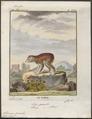 Stenops gracilis - 1782 - Print - Iconographia Zoologica - Special Collections University of Amsterdam - UBA01 IZ19700126.tif