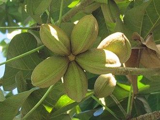 Sterculia apetala - Image: Sterculia apetala fruits Frutas de Sterculia apetala, árbol Panamá G