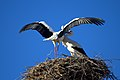 Storks in Manzanares el Real (Community of Madrid, Spain) 01.jpg